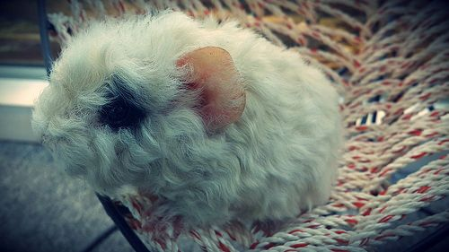 guinea pig texell baby