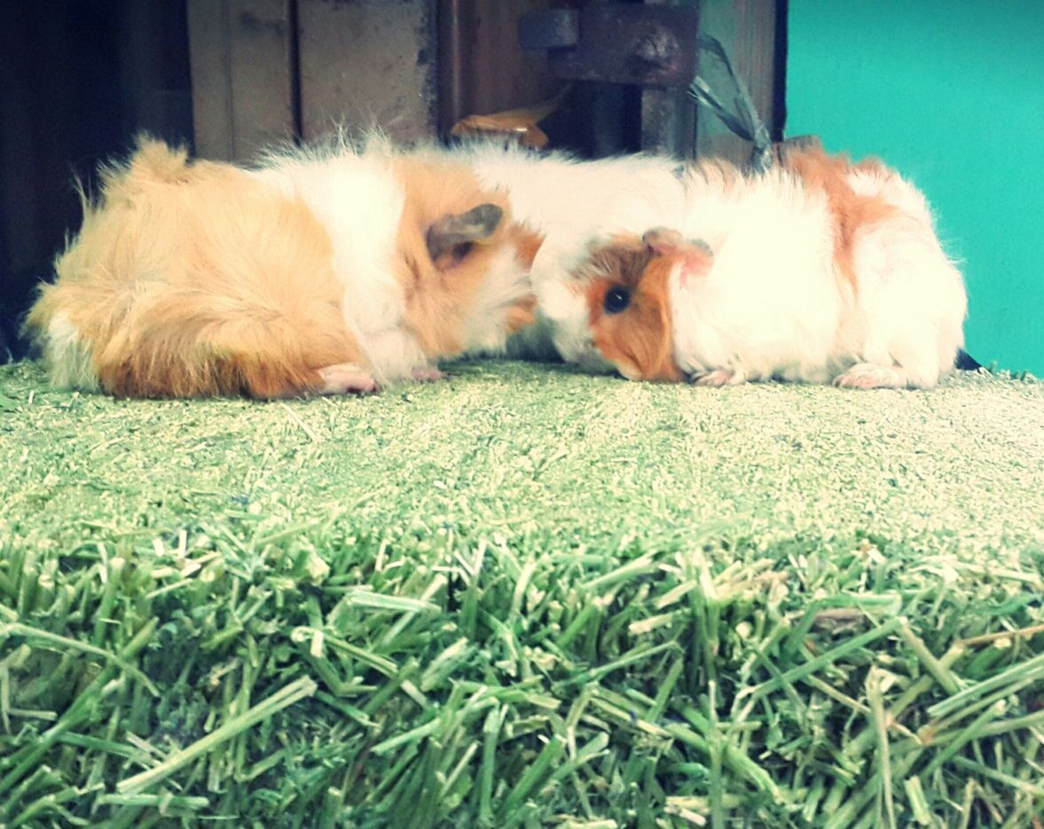 Guinea pig aby new